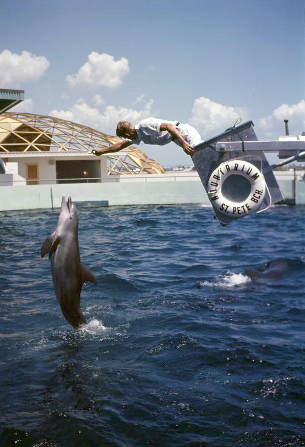 Dolphin leaping out of the water for an animal trainer during a performance at the Aquatarium attraction in St. Petersburg Beach, Florida.