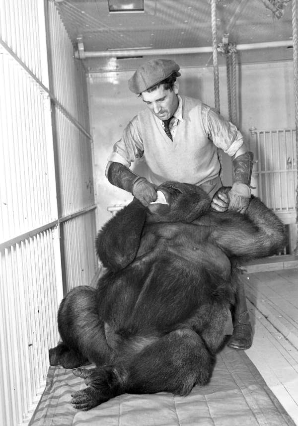 Ringling Circus gorilla Toto with her keeper Jose Tomas in Sarasota, Florida.