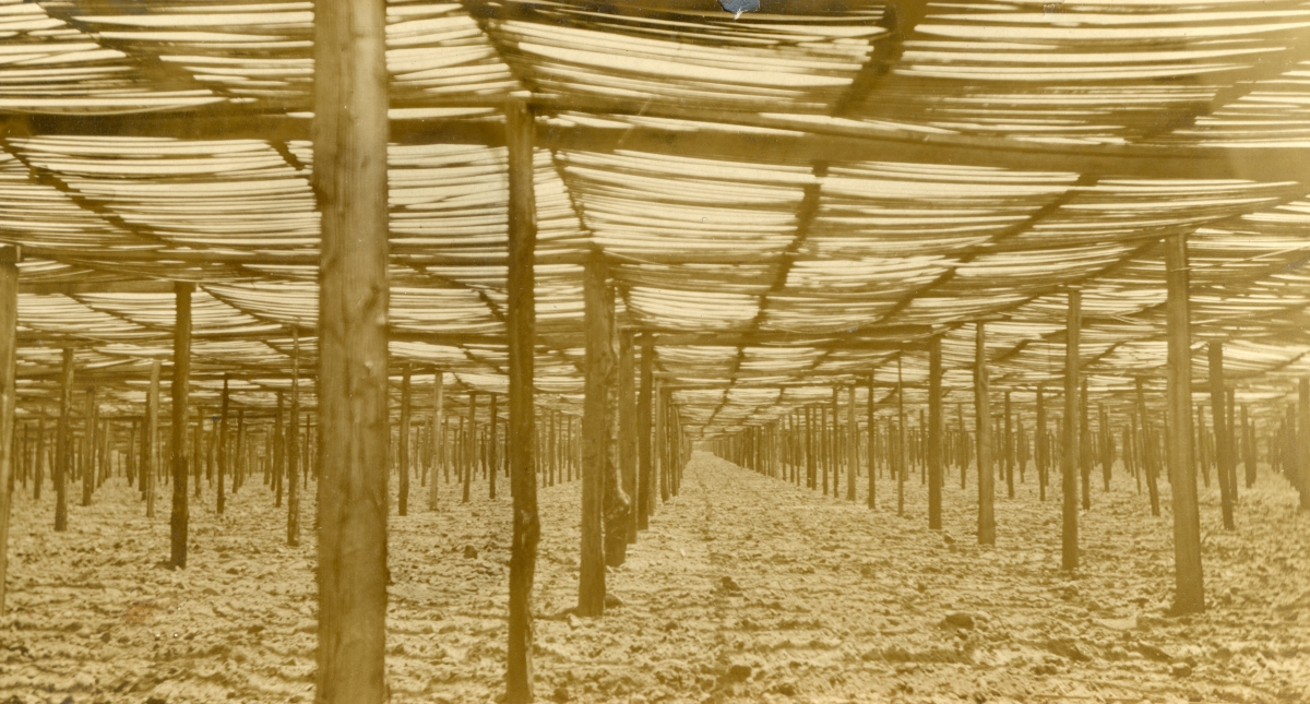 Field of slat shade tobacco growing in Gadsden County.