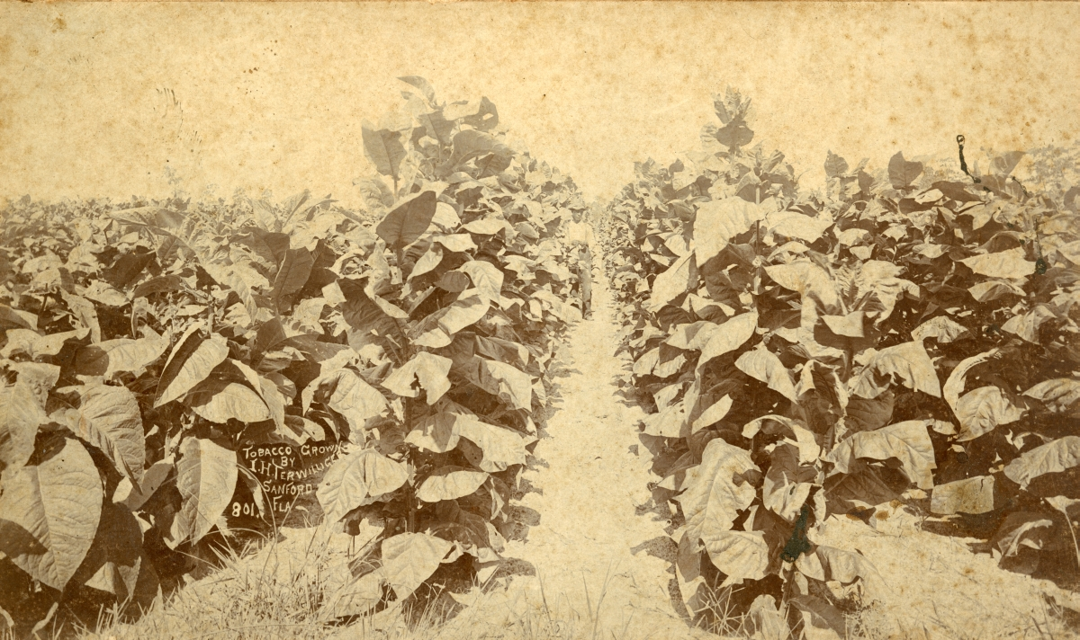 Tobacco grown by I.H. Terwilleger in Sanford.