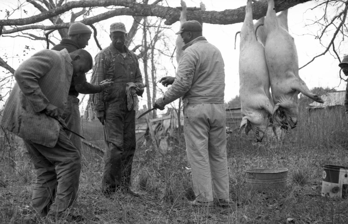 Farmers butchering hogs in north central Florida.