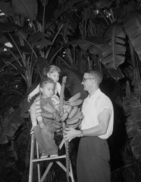 Unidentified father and daughters harvesting bananas in Tallahassee, Florida.