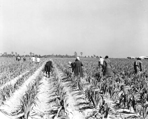 Farm workers gather gladiolus in a field - Fort Myers, Florida .
