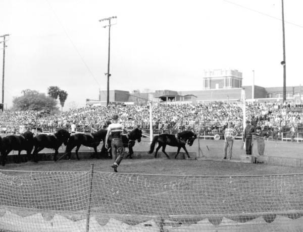 Show ponies at the Sarasota High School Sailor Circus