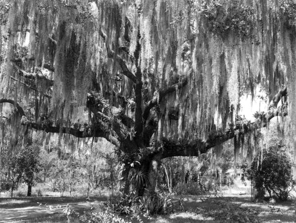 A live oak covered with Spanish moss at the Everglades Tropical Nursery - Tampa, Florida