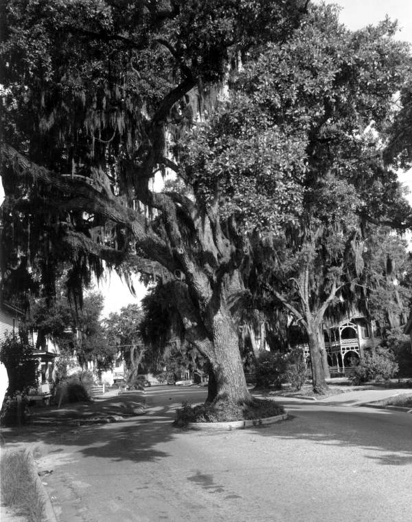 Oak tree, preserved by passing road around it - Fernandina Beach, Florida.