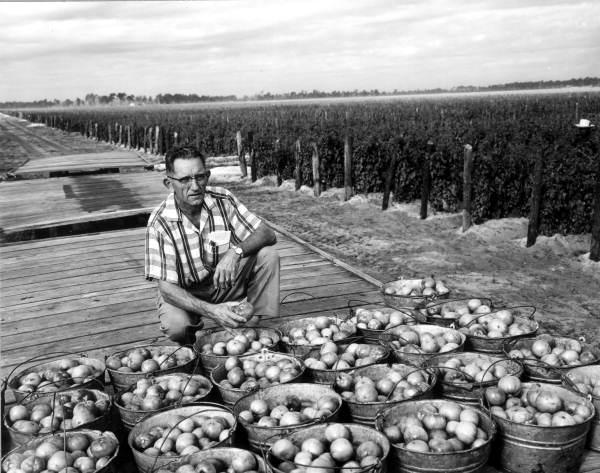 Louis B. Rauth at a tomato field - Delray Beach, Florida.