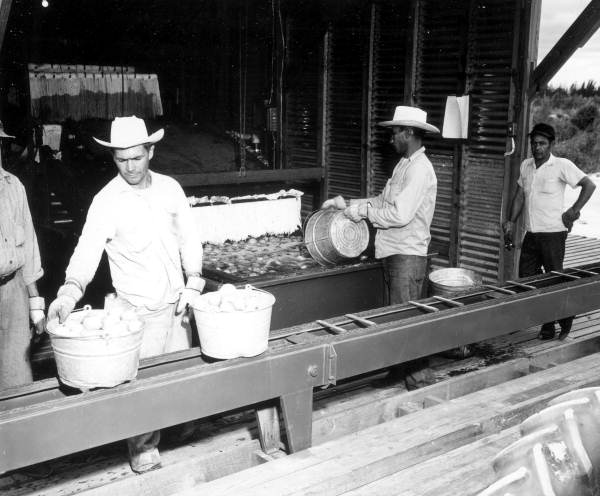 Laborers unloading tomatoes from a conveyor belt - Delray Beach, Florida.