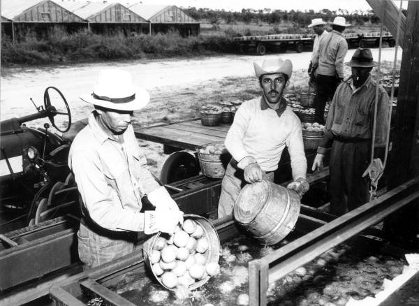 Laborers unloading picked tomatoes - Delray Beach, Florida.