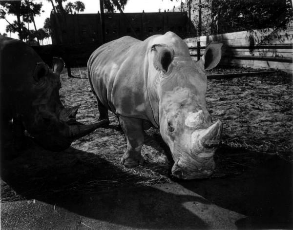 Rhinoceroses at Busch Gardens - Tampa, Florida
