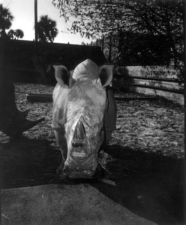 Rhinoceros at Busch Gardens - Tampa, Florida