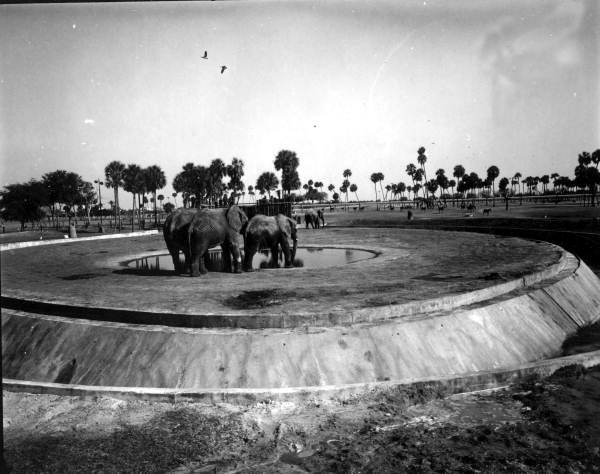Elephants at Busch Gardens - Tampa, Florida.