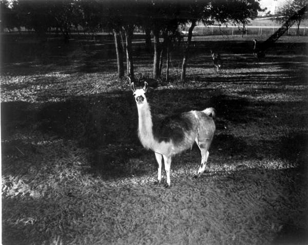 Llama at Busch Gardens - Tampa, Florida