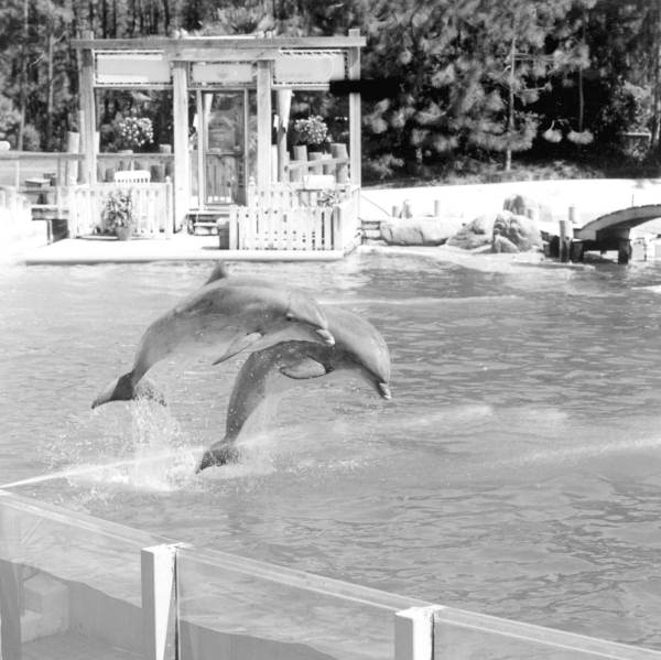 Dolphins perform jumps in a Sea World tank - Orlando, Florida.