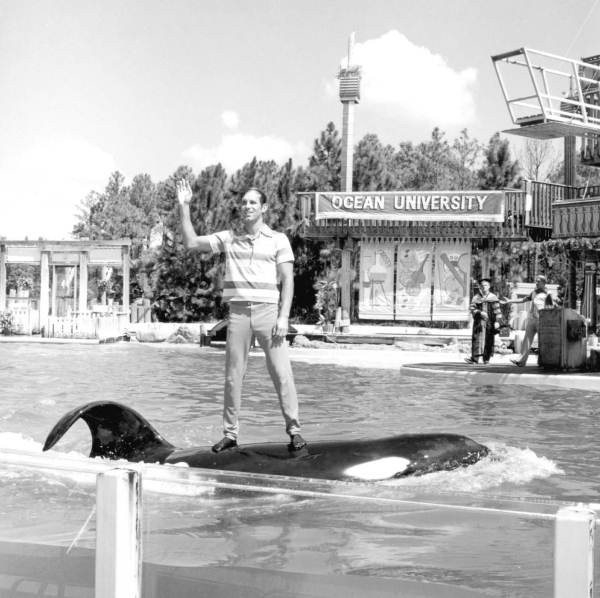 Man standing on the back of a killer whale at Sea World - Orlando, Florida.