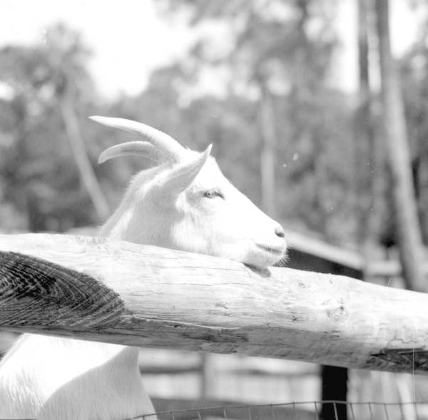 A goat rests its head at Sanford's zoo - Sanford, Florida.