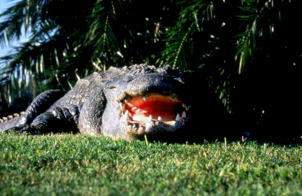 Close-up view of an alligator at the Gatorland theme park in Orlando, Florida.