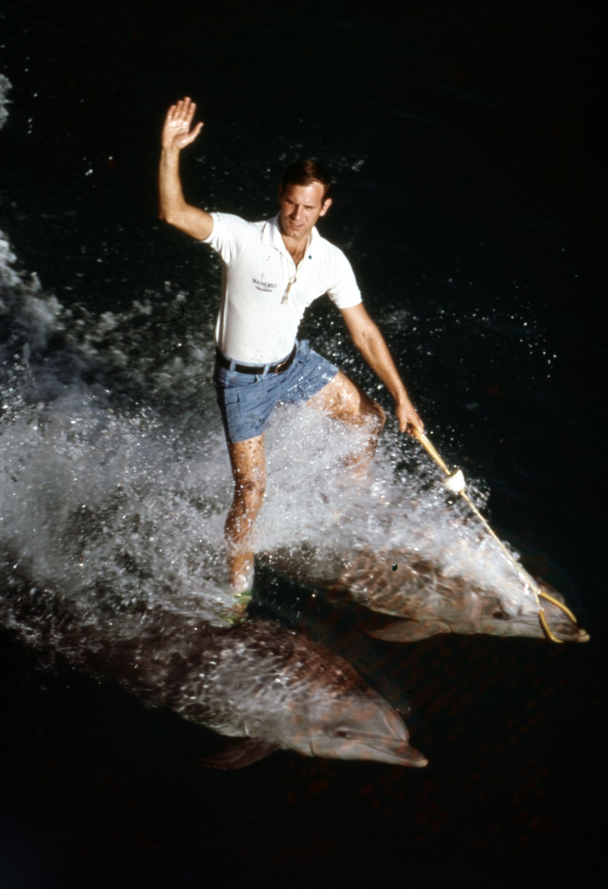 """Animal trainer """"surfing"""" on two dolphins at the Sea World attraction in Orlando, Florida."""