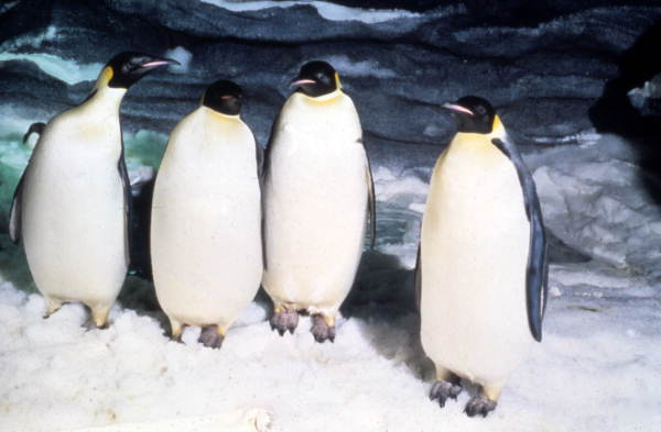 Penguins at the Sea World attraction in Orlando, Florida.