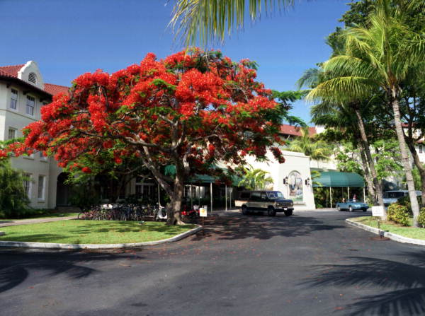 "Royal Poinciana tree next to the ""Casa Marina Hotel"" on Reynolds Street, Key West, Florida.."
