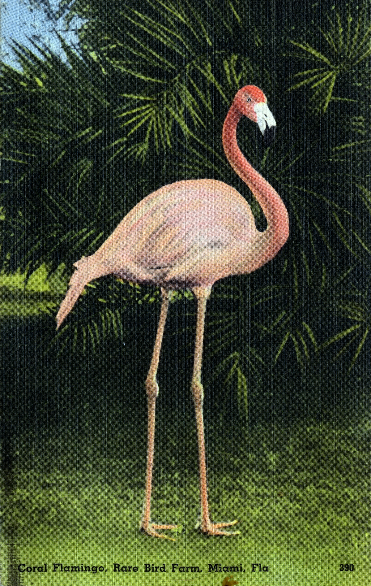 Coral Flamingo, Rare Bird Farm, Miami, Fla.