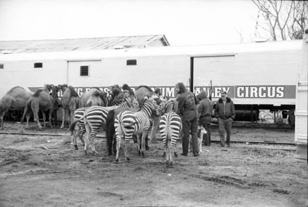 Zebras and camels part of the Ringling Bros Circus - Tallahassee, Florida.