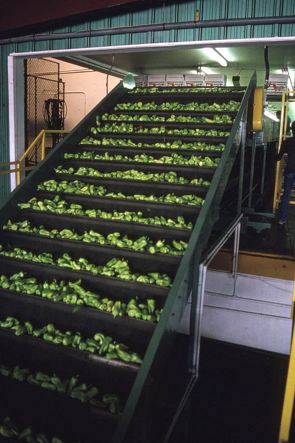 Peppers being conveyed to packing area - Boynton Beach, Florida.