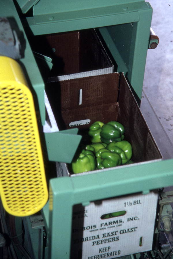 Box being filled with peppers from chute - Boynton Beach, Florida.