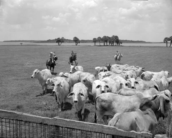 Cattle ranching at the Heart Bar Ranch by the Partin family children - Kissimmee, Florida.
