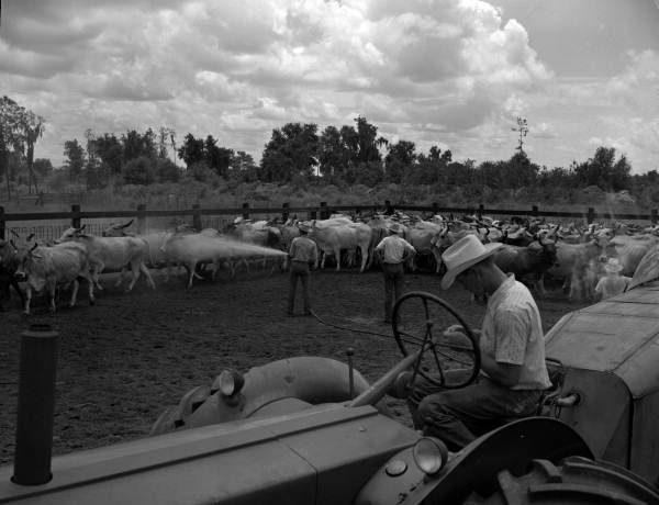 Cattle being sprayed for flies at the Heart Bar Ranch - Kissimmee, Florida.