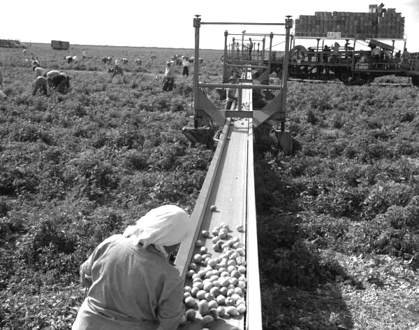 View showing conveyor belt carrying tomatoes during harvest at B&L Farms.