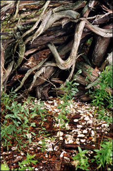 Native American shell midden on south-west end of Big Talbot Island State Park : Jacksonville, Florida (1999)