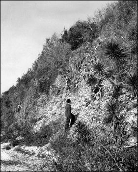 A man looking up to the Turtle Mound shell midden (195-)