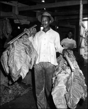 Alexander McGriff carrying shade-grown tobacco to be dried: Havana, Florida (1956)