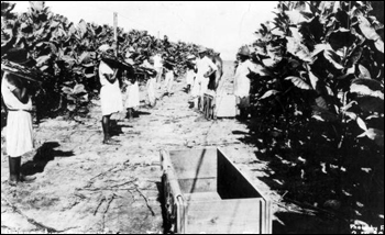 Workers harvesting cigar wrapper tobacco: Quincy, Florida (19--)