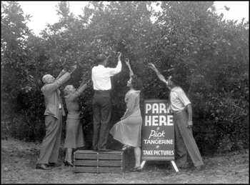 Tourists picking tangerines in a citrus grove: Winter Haven, Florida (1946)