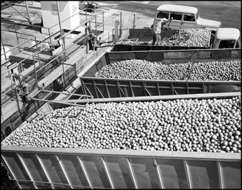 Dump trucks bring citrus fruit to Minute Maid frozen juice plant: Apopka, Florida (1963)