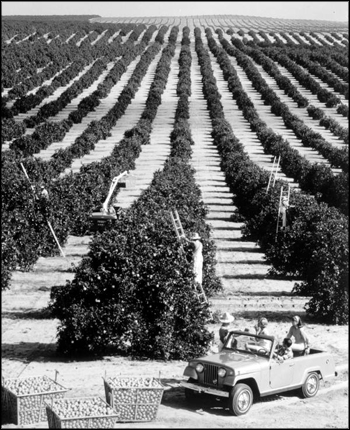 Tourists in jeep watch workers picking fruit in an orange grove: Florida (ca. 1960s)