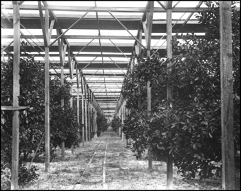 Interior view of Stetson's slat shack protecting his citrus grove: Deland, Florida (ca. 1900)