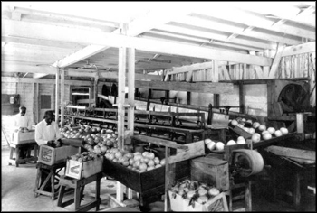 Interior of Winter Haven Citrus Company packing-house: Winter Haven, Florida (ca. mid 1900s)