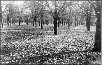 Damage to an orange grove because of cold: Bartow, Florida (1894)