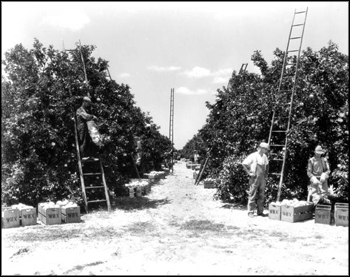 Winter Haven Citrus Growers Association employees working in grove: Winter Haven, Florida (1931)
