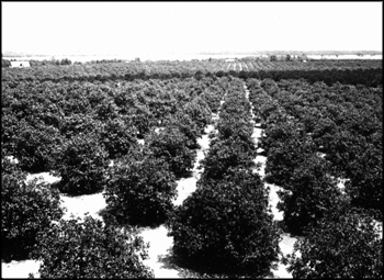 Citrus grove: Winter Haven, Florida (ca. early 1900s)