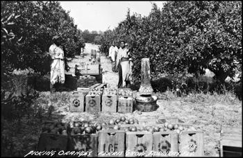 Picking oranges in Ferris Grove: Floral City, Florida (early 1900s)