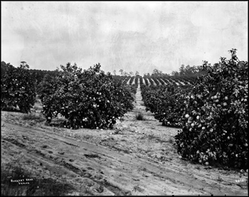 Citrus grove: Highlands County, Florida (ca. 1920s)