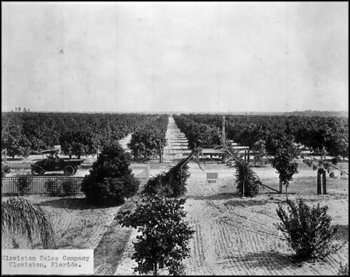 Orange grove: Clewiston, Florida (ca. 1920s)