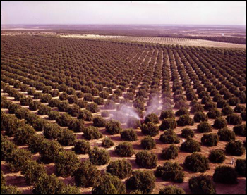 Aerial view showing orange grove being sprayed: Winter Garden, Florida (between 1951 and 1968)