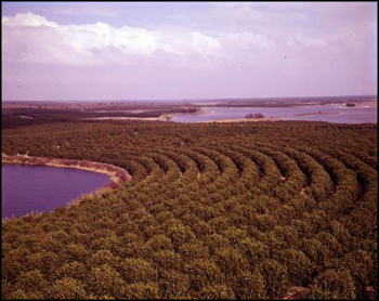 Aerial view of orange grove: Winter Garden, Florida (between 1951 and 1968)