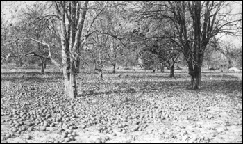Rockledge grove of Alfred Trafford after the freeze: Rockledge, Florida (1895)