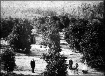 David S. Berkstresser and family at a Hawthorne orange grove: Hawthorne, Florida (between 1882 and 1890)